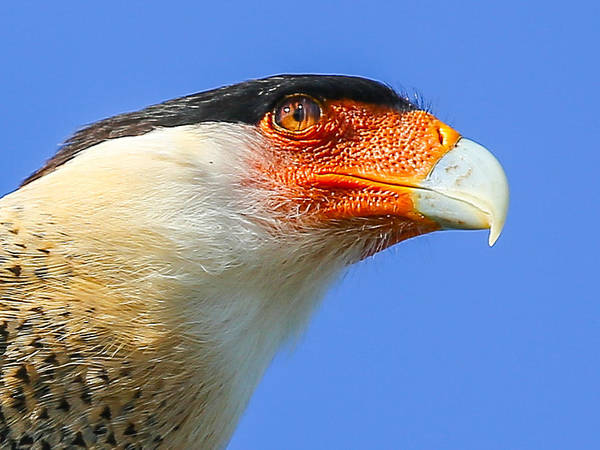 Photograph - Crested Caracara Face by Dart and Suze Humeston