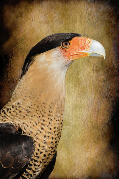 Photograph - Crested Caracara Portrait by Dawn Currie