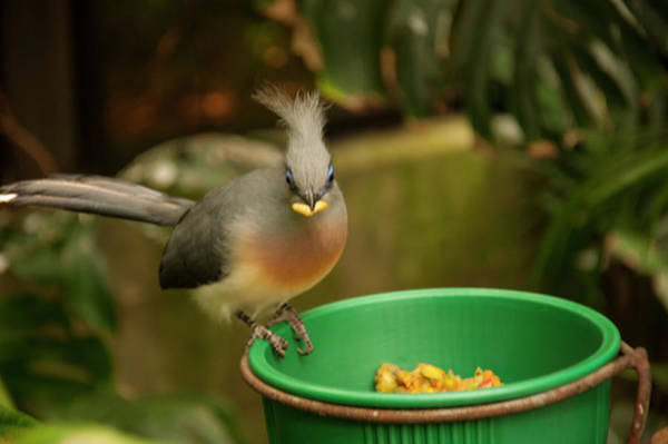 Photograph - Crested Coua 2 by Chris Flees