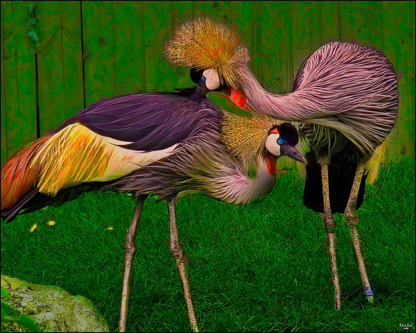 Photograph - Crested Cranes by Chris Lord