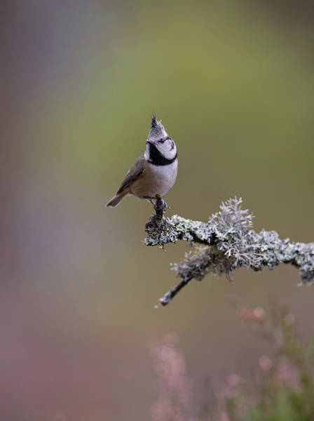 Photograph - Crested Tit In Woodland by Peter Walkden
