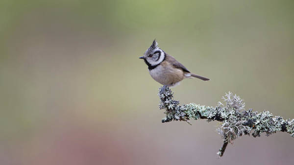 Photograph - Crested Tit Lichen by Peter Walkden