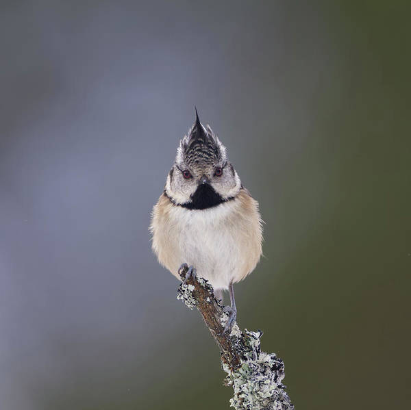Photograph - Crested Tit by Peter Walkden