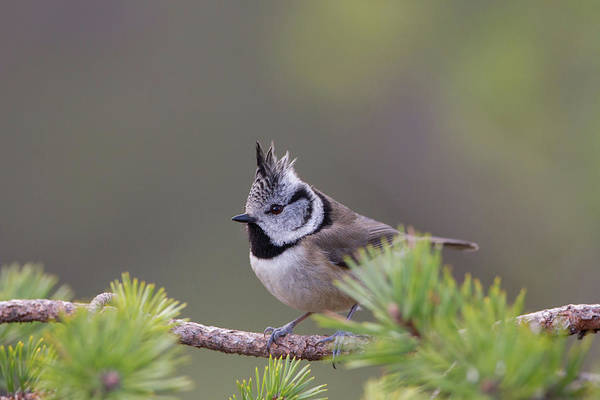 Photograph - Crested Tit Pine by Peter Walkden