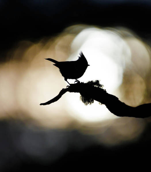 Photograph - Crested Tit Silhouette by Peter Walkden