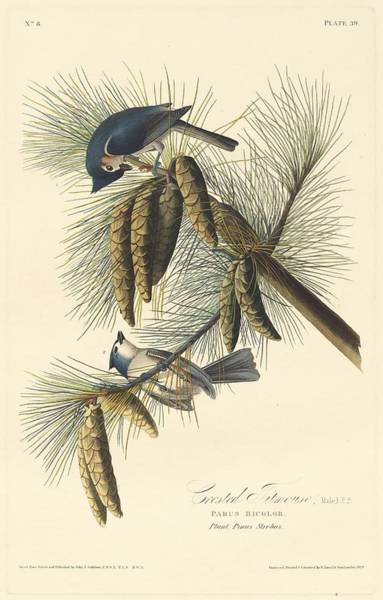 Titmouse Drawing - Crested Titmouse by Dreyer Wildlife Print Collections