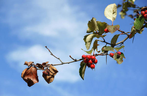 Photograph - Crimson Berries by Cate Franklyn