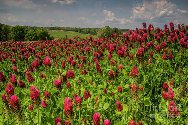 Photograph - Crimson Clover Patch by Barbara Bowen