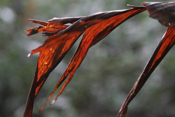 Photograph - Crimson Leaf In The Amazon Rainforest by Brandy Little