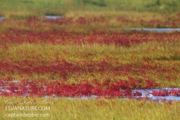 Photograph - Crimson Marsh 10 by Captain Debbie Ritter