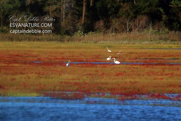 Photograph - Crimson Marsh 6 by Captain Debbie Ritter