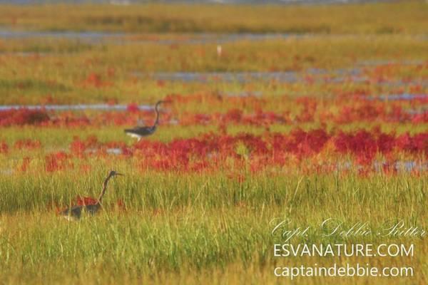 Photograph - Crimson Marsh 7 by Captain Debbie Ritter