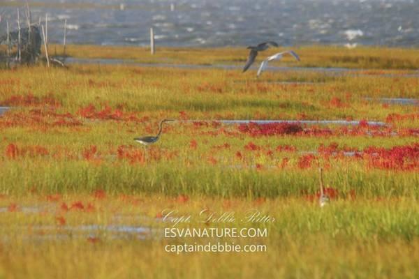 Photograph - Crimson Marsh 8 by Captain Debbie Ritter