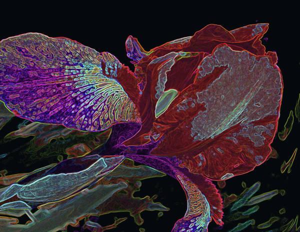 Photograph - Crimson Rainbow Iris by Lynda Lehmann
