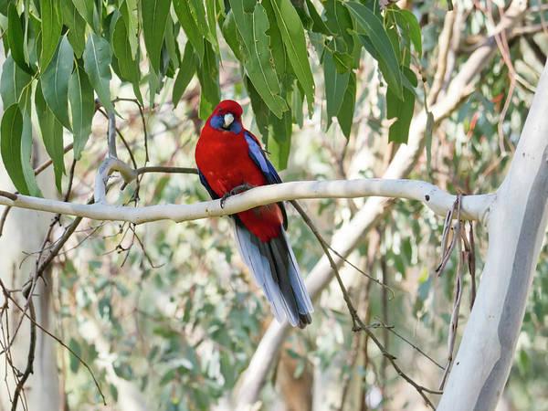 Photograph - Crimson Rosella 4 - Canberra - Australia by Steven Ralser