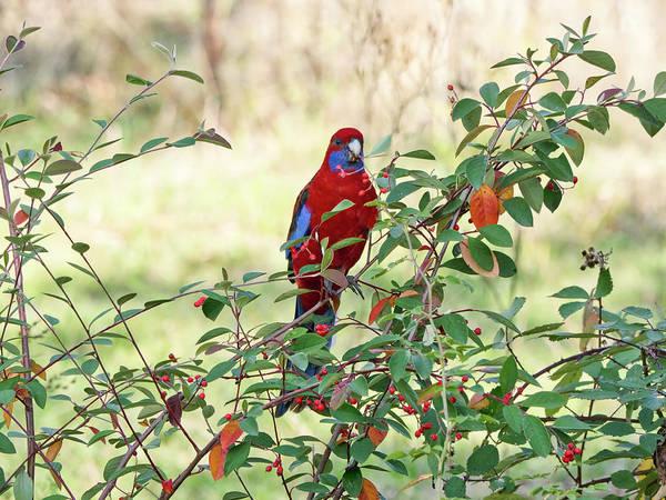 Photograph - Crimson Rosella 3 - Canberra - Australia by Steven Ralser