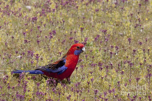 Photograph - Crimson Rosella by Karen Van Der Zijden