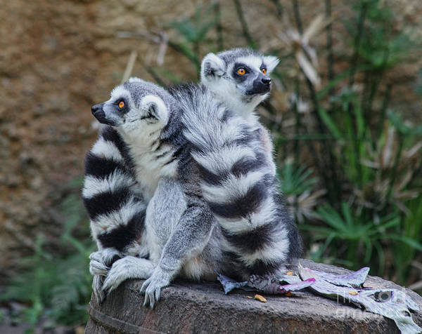 Houston Zoo Photograph - Critically Endangered Ring-tailed Lemur by TN Fairey