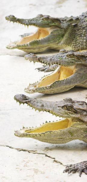 Photograph - Crocodile Choir by Jorgo Photography - Wall Art Gallery