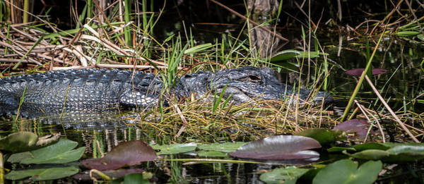 Photograph - Crocodile In The Grass by Patti Deters