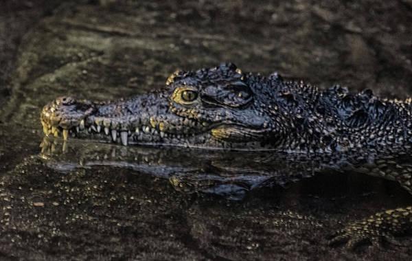 Gator Photograph - Crocodile Reflections by Martin Newman