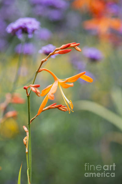 Golden Gardens Photograph - Crocosmia Golden Ballerina by Tim Gainey