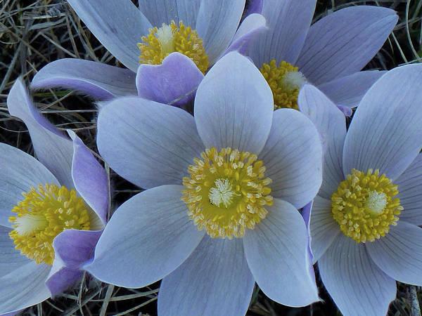 Photograph - Crocus Blossoms by Cris Fulton