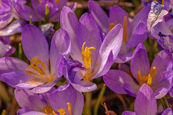 Photograph - Crocus Close by Leif Sohlman