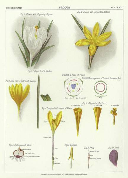 Wall Art - Painting - Crocus by English School