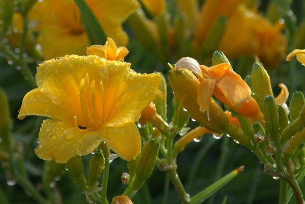 Photograph - Crocus  Chrysanthemums by Tim McCullough