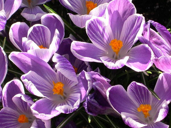 Wall Art - Photograph - Crocus In Spring by Alfred Ng