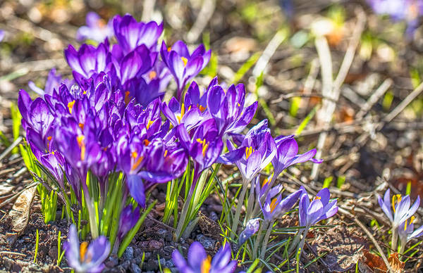 Photograph - Crocus Lilac #2 by Leif Sohlman