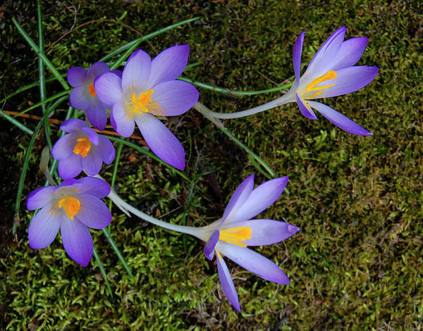 Photograph - Crocus Outreach by Roger Bester
