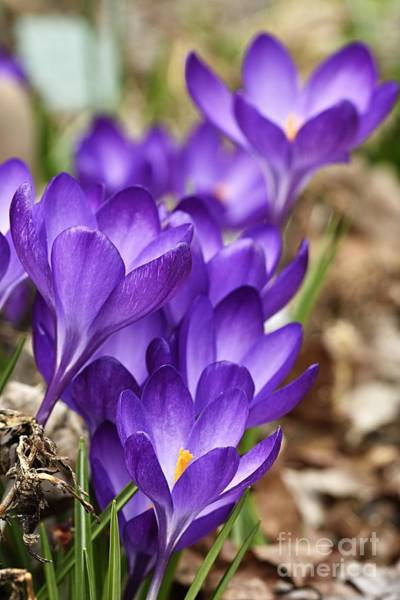 Photograph - Crocuses by Larry Ricker