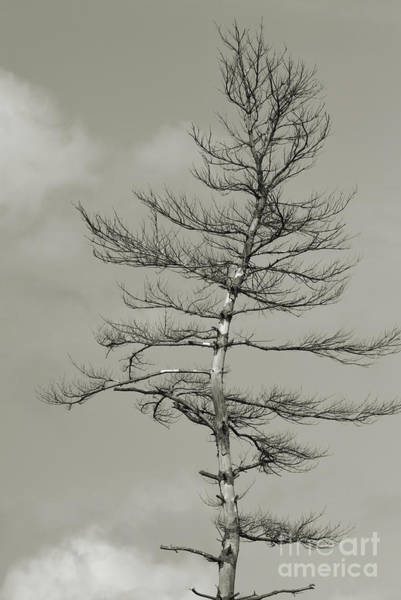 Photograph - Crooked Tree by Charles Owens
