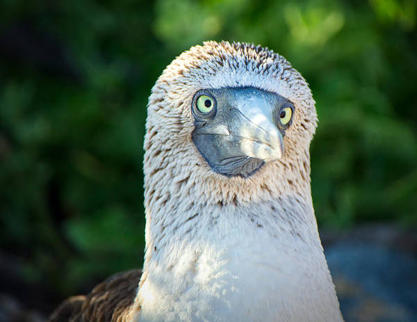 North Seymour Island Photograph - Cross-eyed Booby by Jane Selverstone