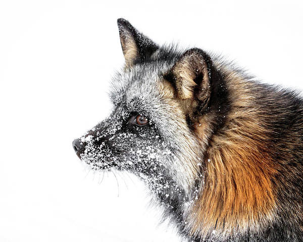 Photograph - Cross Fox Portrait by Wes and Dotty Weber