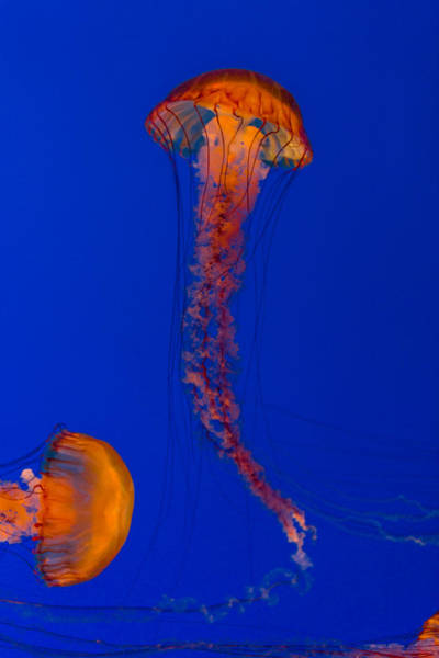 Photograph - Crossing Pacific Sea Nettles 2 by Scott Campbell