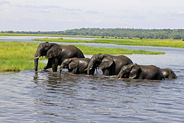 Photograph - Crossing The River Chobe  by Tony Murtagh