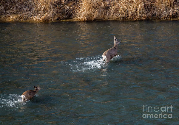 Doe Photograph - Crossing The River by Mike Dawson