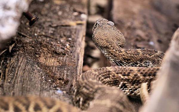 Photograph - Crotalus Atrox by JC Findley