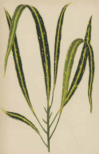 Leaf Venation Wall Art - Painting - Croton Variegatum Angustifolium by English School