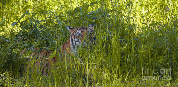Photograph - Crouching Tiger by Keith Kapple