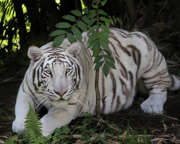 Photograph - Crouching Tiger by Susan Rissi Tregoning
