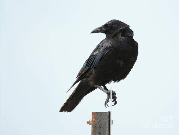 Photograph - Crow 2 by Charles Owens