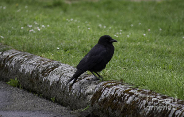 Photograph - Crow At Point Roberts by Donna L Munro