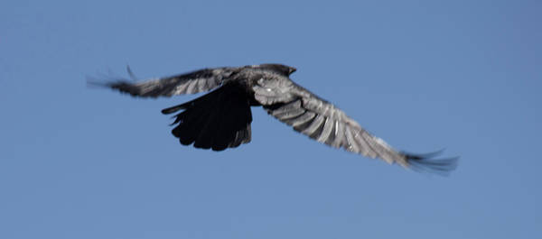 Photograph - Crow In Flight 2 by Donna L Munro