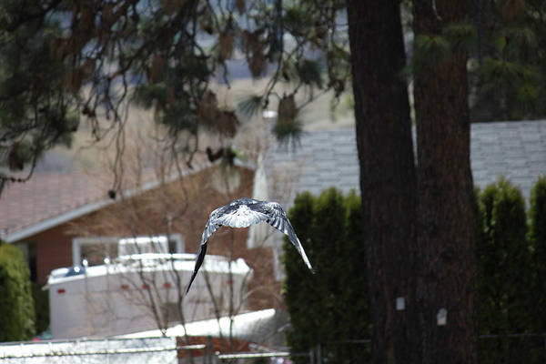 Photograph - Crow In Flight 3 by Donna L Munro