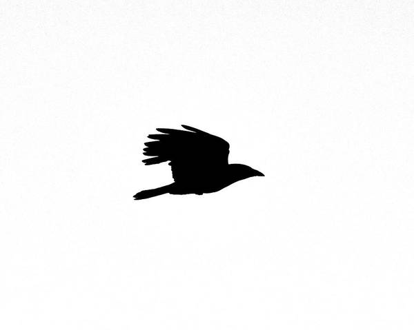 Photograph - Crow In Flight Silhouette by Ken Stampfer