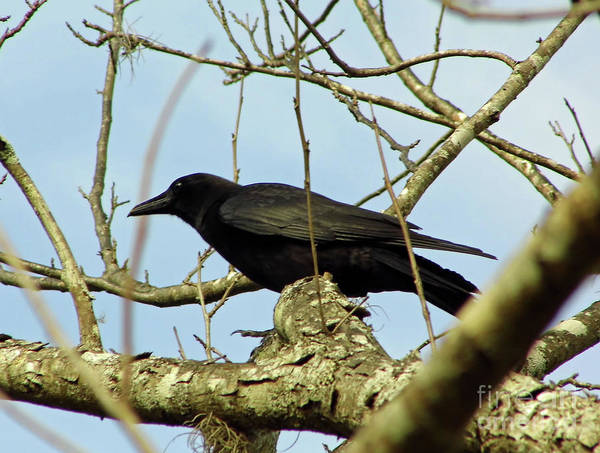 Photograph - Crow In The Tree by D Hackett